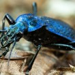 Stock Photo: Ground beetle - Carabus intricatus