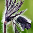 Photo of pulsatilla patens L flowers — Stock Photo