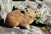 Rock rabbit — Stock Photo