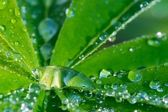 Leaf of lupinus with drops of water — Stock Photo