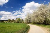 Flowering cherry-trees along way — Foto Stock