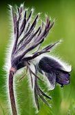 Photo of pulsatilla patens L flowers — Stock Photo