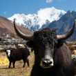 yak in langtang valley — Stock Photo