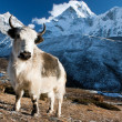 Royalty-Free Stock Photo: Yak on pasture and ama dablam peak