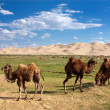 Stock Photo: Camels dune desert - mongolia