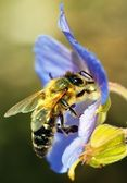 Honeybee pollinated of blue flower — Stock Photo