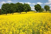 Field of rapeseed with rural road — Stock Photo