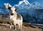 Yak on pasture and ama dablam peak — Stock Photo