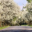 Alley of cherry-trees — Stock Photo