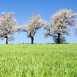 Alley of flowering cherry-trees and green spring corn field - Stock Photo