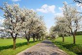 Alley of cherry-trees — Stock Photo