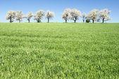 Aleja kwitnienia wiśni drzew i pole kukurydzy wiosna zielony — Zdjęcie stockowe