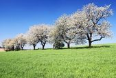 Alley of flowering cherry-trees and green spring corn field — Stock Photo