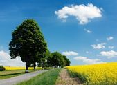 Field of rapeseed with road and alley — Stock Photo