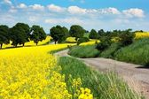 Field of rapeseed - brassica napus — Stock Photo