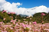 View from annapurna himal to dhaulagiri himal with buckwheat field — Stock Photo