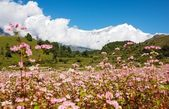 Dhaulagiri himal with buckwheat field — Stock Photo