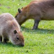 Capybara grazing on fresh green grass — Stock Photo #10117177
