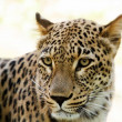 Stock Photo: Closeup of Leopard looks forward
