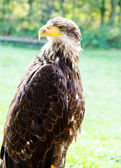 Big Sea Eagle Haliaeetus albicill — Foto Stock