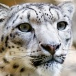 Royalty-Free Stock Photo: Close up Portrait of Snow Leopard Irbis