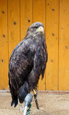 Big Sea Eagle Haliaeetus albicill — Stock Photo