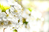 Blossoming apple garden in spring with very shallow focus — Stock Photo