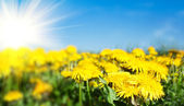 Field of spring flowers dandelions and perfect sunny day — Stock Photo
