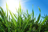 Green grass and blue sky with sun — Stock Photo