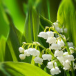 Blooming Lily of the valley in spring garden — Stock Photo