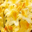 Yellow azalea rhododendron flowers in full bloom — Stock Photo