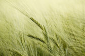 Detail of organic green grains in summer time — Stock Photo