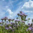 Stock Photo: Summer scenery with Purple lucerne field and bumble bee