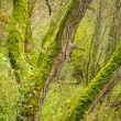 Bright Green Moss (bryophytes) on tree trunks — Stock Photo