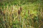 Reeds at the pond — Stok fotoğraf