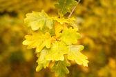 Meşe yaprağı sonbahar renkleri — Stok fotoğraf