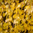 Stock Photo: Autumn colors of birch leaves