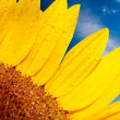 Stock Photo: Sunflower on a background of the cloudy blue sky