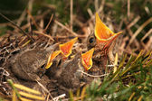 Sparrow in the nest — Stock Photo