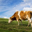 Cow and sky — Stock Photo