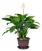 Houseplant - Spathiphyllum floribundum (Peace Lily) — Stock Photo