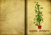 Syngonium 鬼臼 — 图库照片