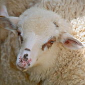Head of a lamb against a pasture — Stock Photo