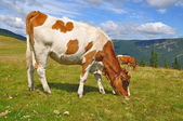 The calf on a summer mountain pasture — Stock Photo