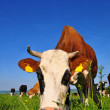 Cow on a summer pasture - Photo