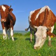 Cows on a summer pasture - Photo