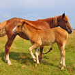 Foal with a mare on a summer pasture — Foto Stock