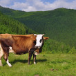 Cow on a summer mountain pasture - Stock Photo