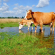 Cows on a summer pasture — Stock Photo