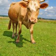Cow on a summer pasture - ストック写真